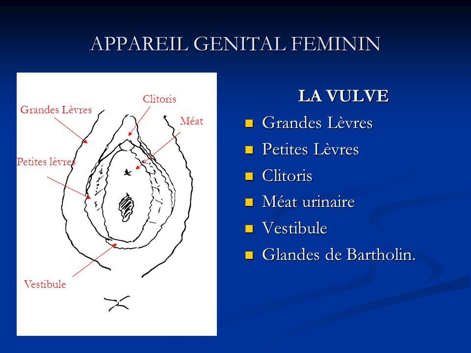 APPAREIL GENITAL FEMININ LA VULVE Grandes Lèvres Petites Lèvres Clitoris Méat urinaire Vestibule Glandes de Bartholin. Grandes Lèvres Petites lèvres C