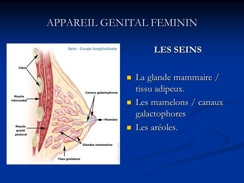 APPAREIL GENITAL FEMININ LES SEINS La glande mammaire / tissu adipeux. Les mamelons / canaux galactophores Les aréoles.