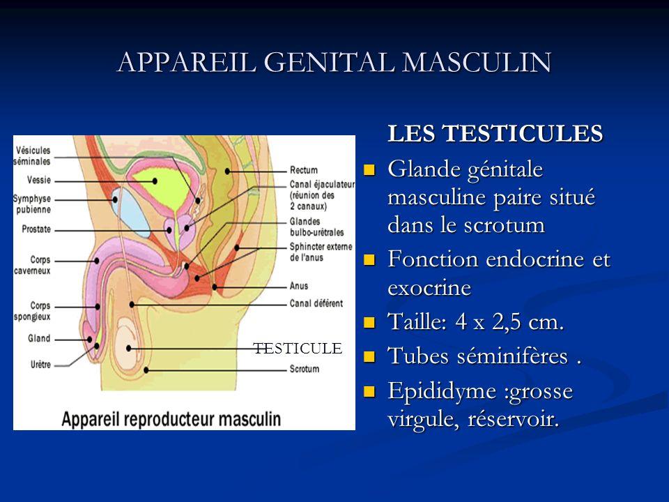 APPAREIL GENITAL MASCULIN LES TESTICULES Glande génitale masculine paire situé dans le scrotum Fonction endocrine et exocrine Taille: 4 x 2,5 cm. Tube