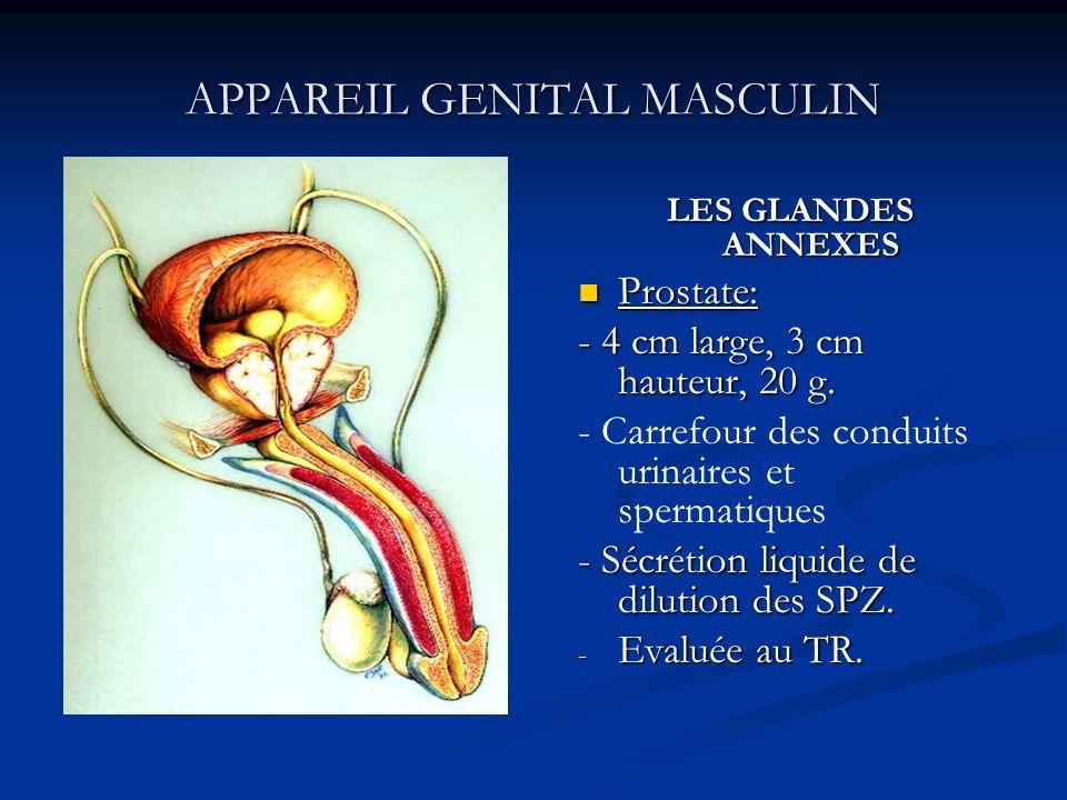 APPAREIL GENITAL MASCULIN LES GLANDES ANNEXES Prostate: - 4 cm large, 3 cm hauteur, 20 g. - Carrefour des conduits urinaires et spermatiques - Sécréti