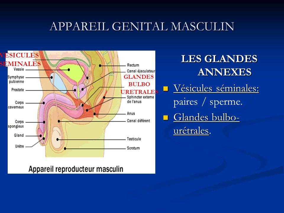 APPAREIL GENITAL MASCULIN LES GLANDES ANNEXES Vésicules séminales: paires / sperme. Glandes bulbo- urétrales. VESICULES SEMINALES GLANDES BULBO URETRA