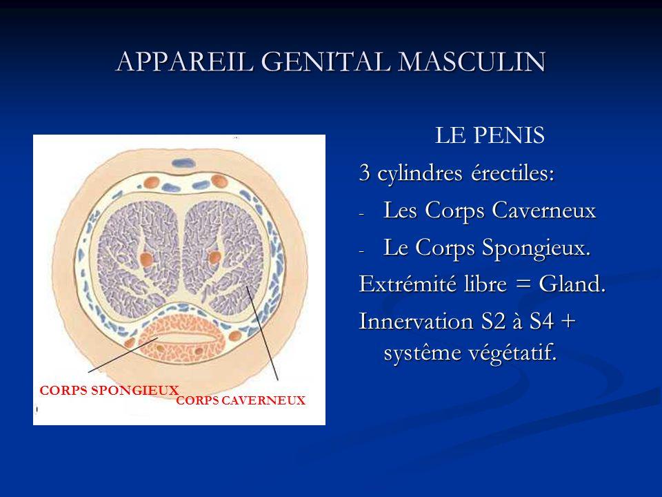 APPAREIL GENITAL MASCULIN LE PENIS 3 cylindres érectiles: - Les Corps Caverneux - Le Corps Spongieux. Extrémité libre = Gland. Innervation S2 à S4 + s