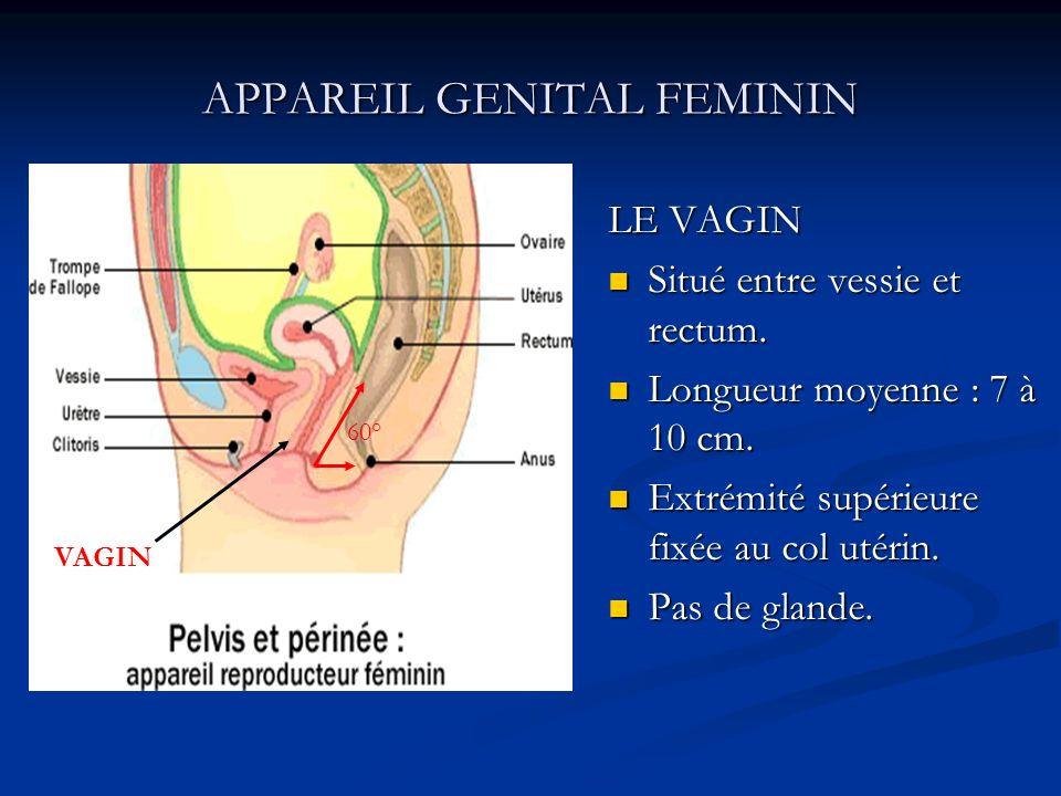 APPAREIL GENITAL FEMININ LE VAGIN Situé entre vessie et rectum. Longueur moyenne : 7 à 10 cm. Extrémité supérieure fixée au col utérin. Pas de glande.