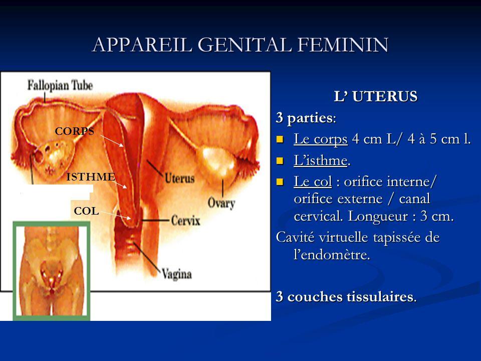 APPAREIL GENITAL FEMININ L UTERUS 3 parties: Le corps 4 cm L/ 4 à 5 cm l. Listhme. Le col : orifice interne/ orifice externe / canal cervical. Longueu