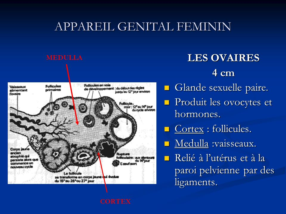 APPAREIL GENITAL FEMININ LES OVAIRES 4 cm Glande sexuelle paire. Produit les ovocytes et hormones. Cortex : follicules. Medulla :vaisseaux. Relié à lu