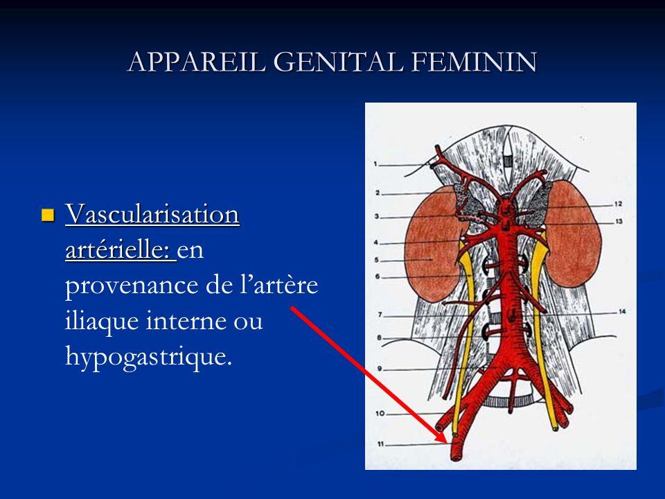 APPAREIL GENITAL FEMININ Vascularisation artérielle: Vascularisation artérielle: en provenance de lartère iliaque interne ou hypogastrique.