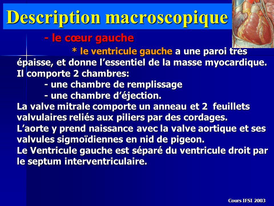 Cours IFSI 2003 Description macroscopique - le cœur gauche * le ventricule gauche a une paroi très épaisse, et donne lessentiel de la masse myocardiqu