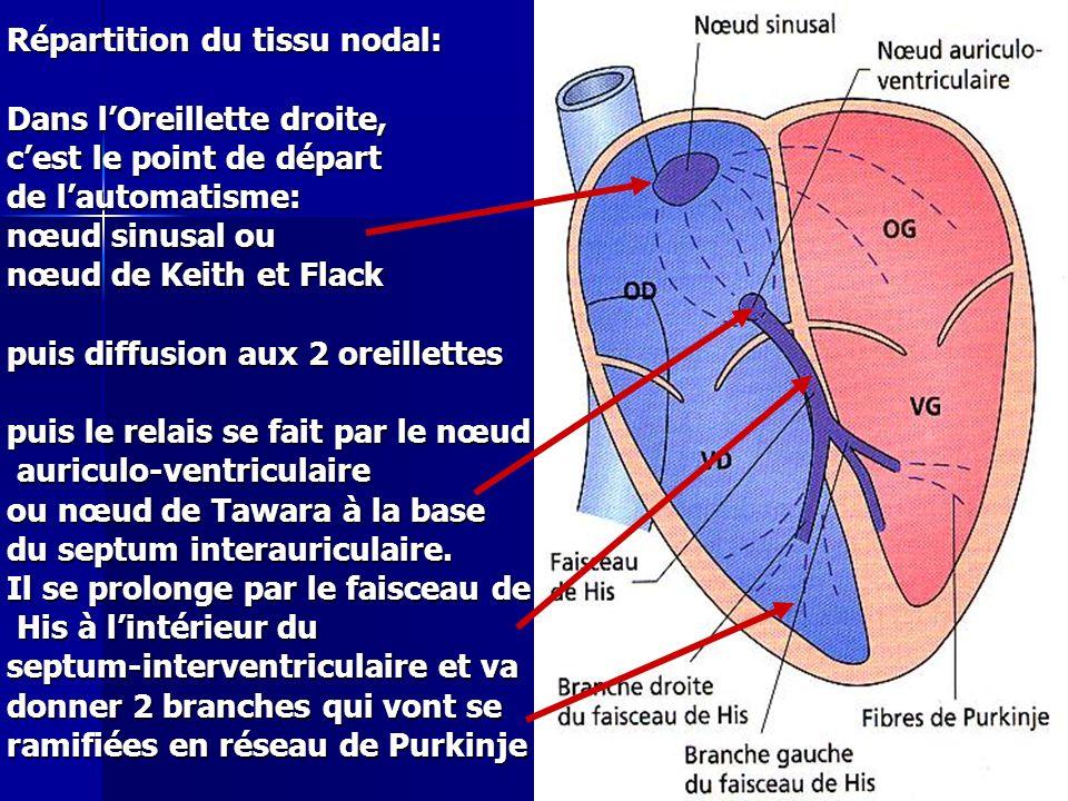 Cours IFSI 2003 Répartition du tissu nodal: Dans lOreillette droite, cest le point de départ de lautomatisme: nœud sinusal ou nœud de Keith et Flack p