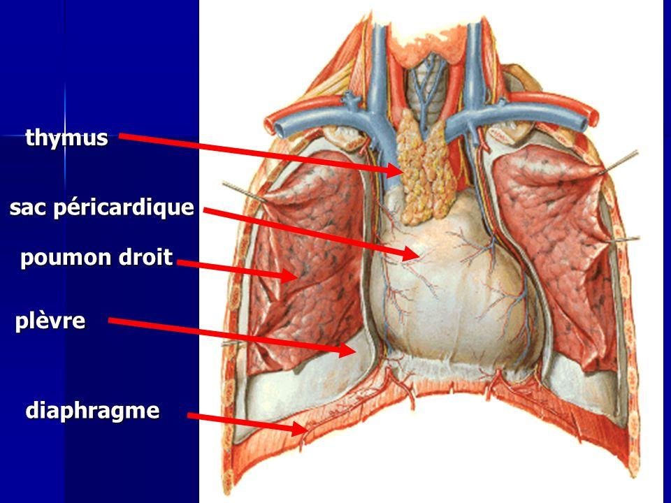 sac péricardique plèvre thymus poumon droit diaphragme