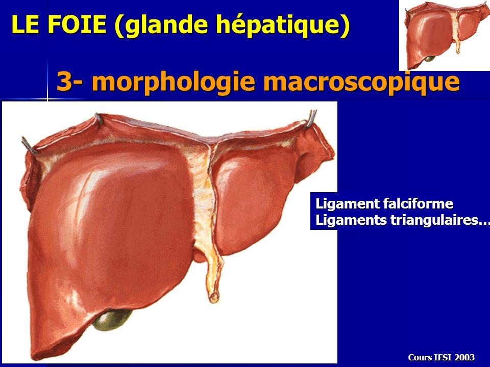 Cours IFSI 2003 LE FOIE (glande hépatique) 3- morphologie macroscopique Ligament falciforme Ligaments triangulaires…