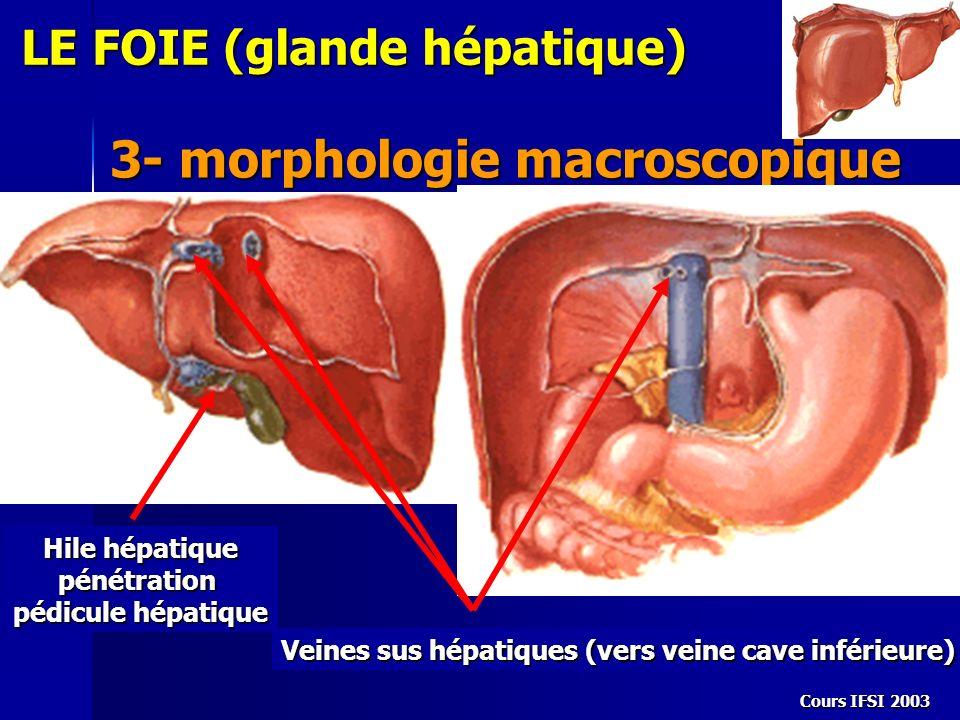 Cours IFSI 2003 LE FOIE (glande hépatique) 3- morphologie macroscopique Hile hépatique pénétration pédicule hépatique Veines sus hépatiques (vers vein