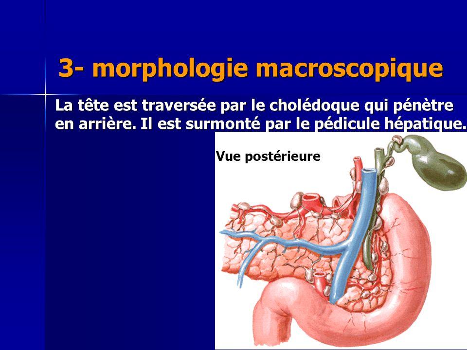 Cours IFSI 2003 3- morphologie macroscopique La tête est traversée par le cholédoque qui pénètre en arrière. Il est surmonté par le pédicule hépatique