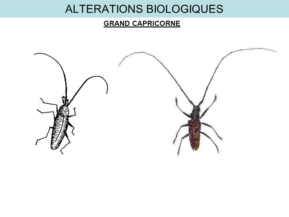 ALTERATIONS BIOLOGIQUES GRAND CAPRICORNE