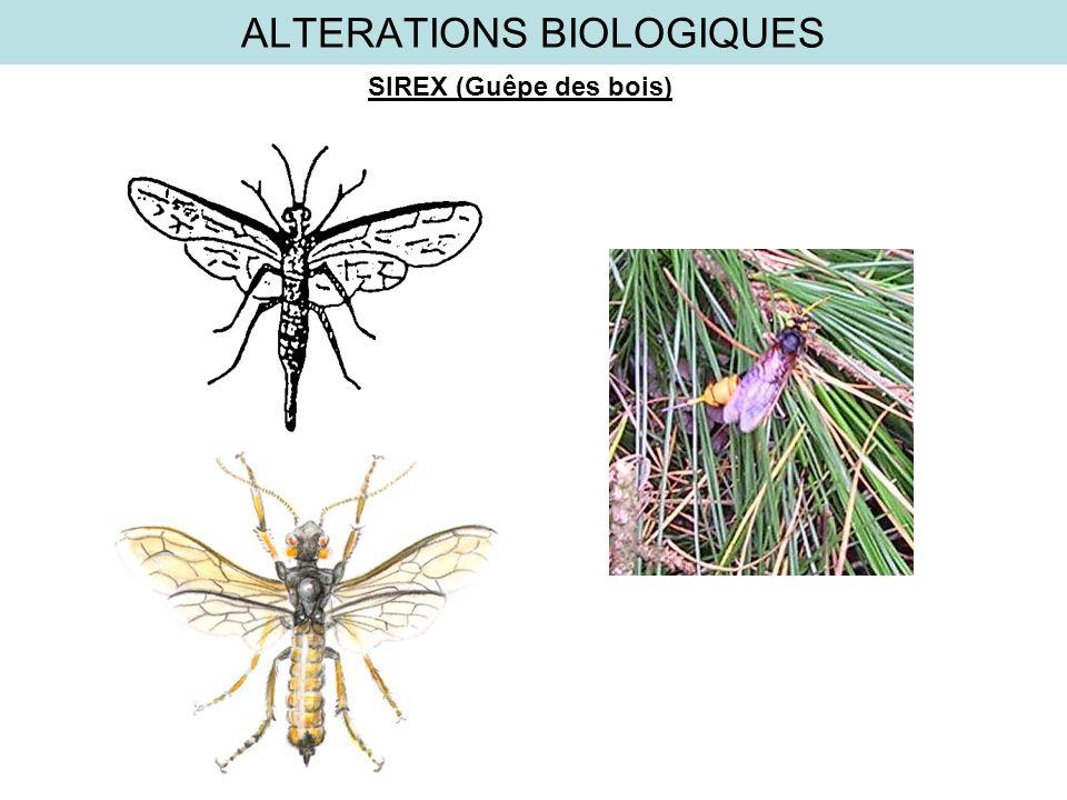 ALTERATIONS BIOLOGIQUES SIREX (Guêpe des bois)