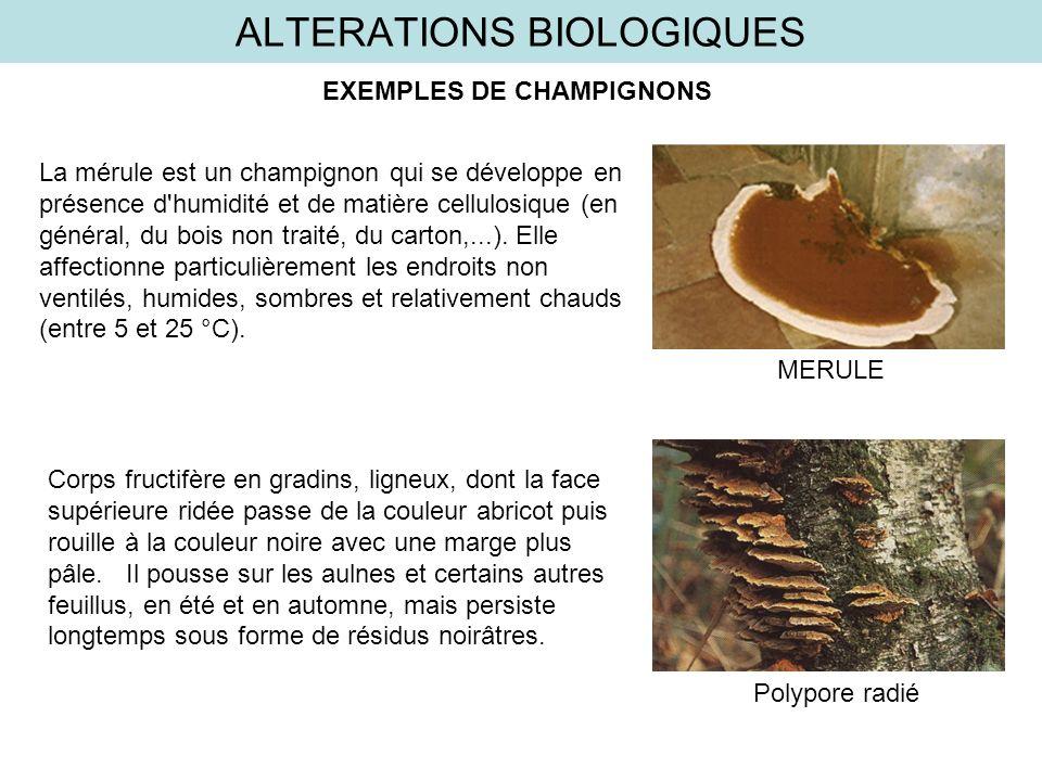 ALTERATIONS BIOLOGIQUES La mérule est un champignon qui se développe en présence d'humidité et de matière cellulosique (en général, du bois non traité