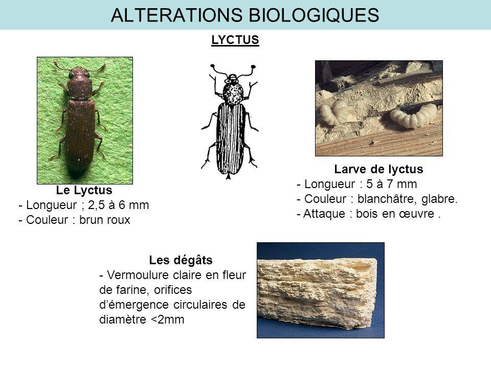 ALTERATIONS BIOLOGIQUES LYCTUS Les dégâts - Vermoulure claire en fleur de farine, orifices démergence circulaires de diamètre <2mm Larve de lyctus - L