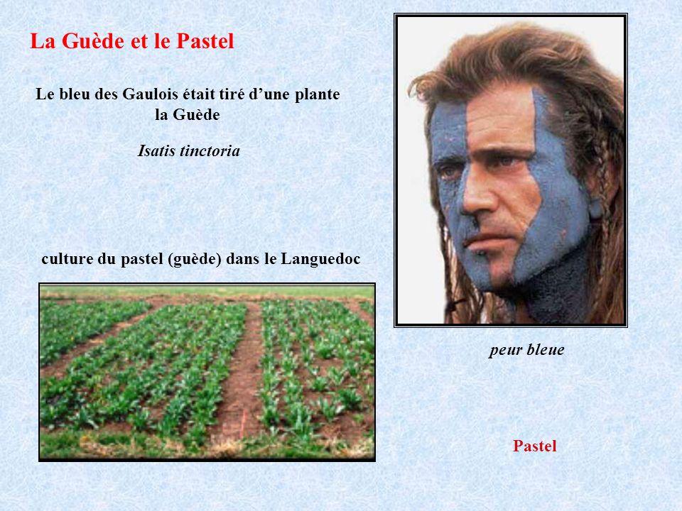 Le bleu des Gaulois était tiré dune plante la Guède culture du pastel (guède) dans le Languedoc Isatis tinctoria Pastel peur bleue La Guède et le Past
