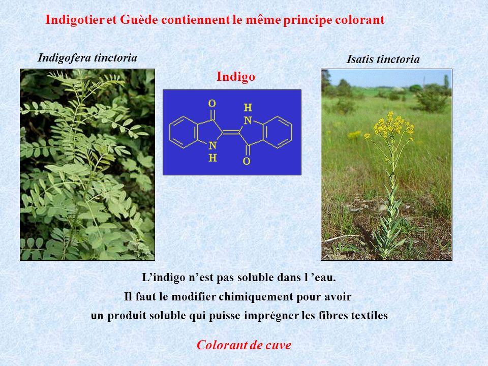 Indigotier et Guède contiennent le même principe colorant Lindigo nest pas soluble dans l eau. Il faut le modifier chimiquement pour avoir un produit