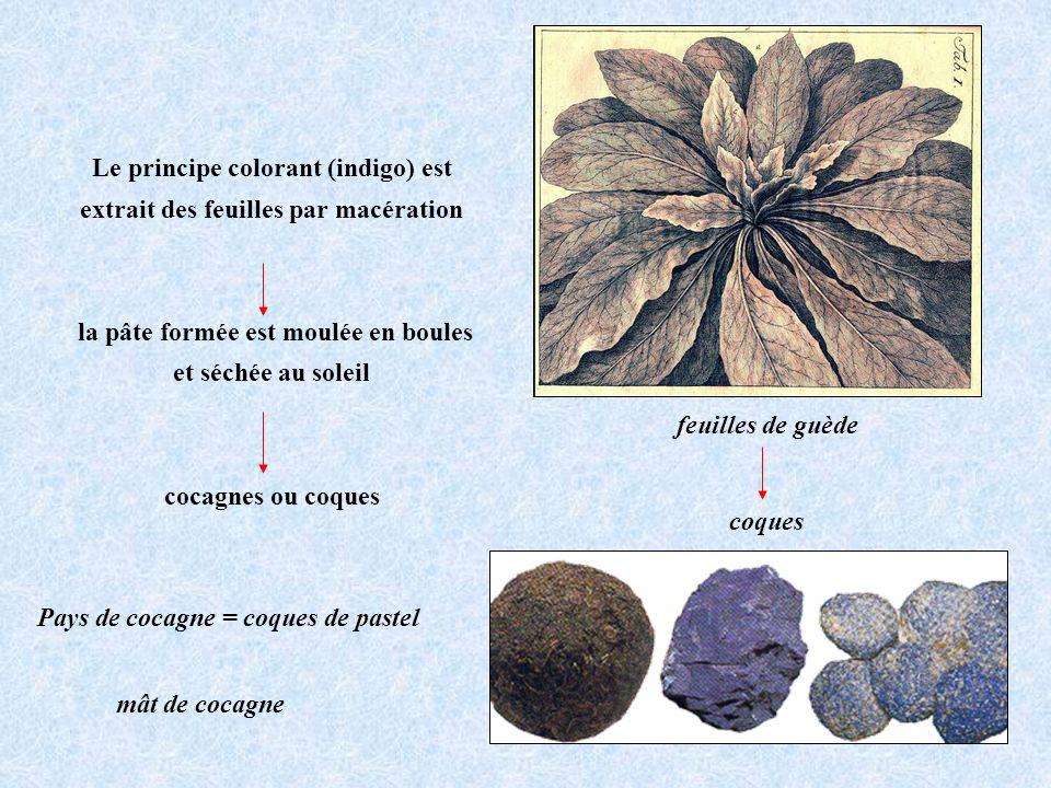feuilles de guède Pays de cocagne = coques de pastel coques mât de cocagne Le principe colorant (indigo) est extrait des feuilles par macération la pâ