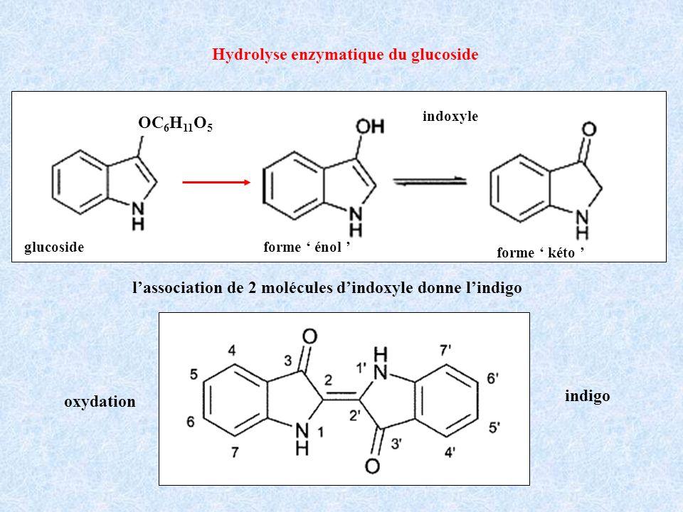 Hydrolyse enzymatique du glucoside indoxyle forme énol forme kéto oxydation indigo glucoside OC 6 H 11 O 5 lassociation de 2 molécules dindoxyle donne