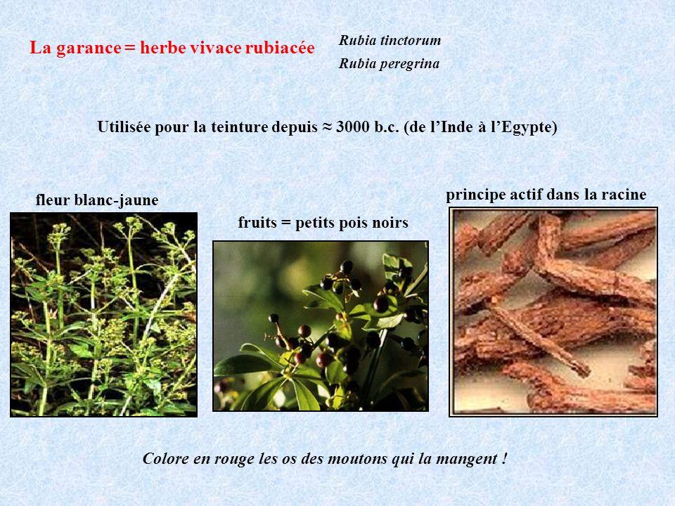 Rubia tinctorum Rubia peregrina La garance = herbe vivace rubiacée Utilisée pour la teinture depuis 3000 b.c. (de lInde à lEgypte) fleur blanc-jaune f