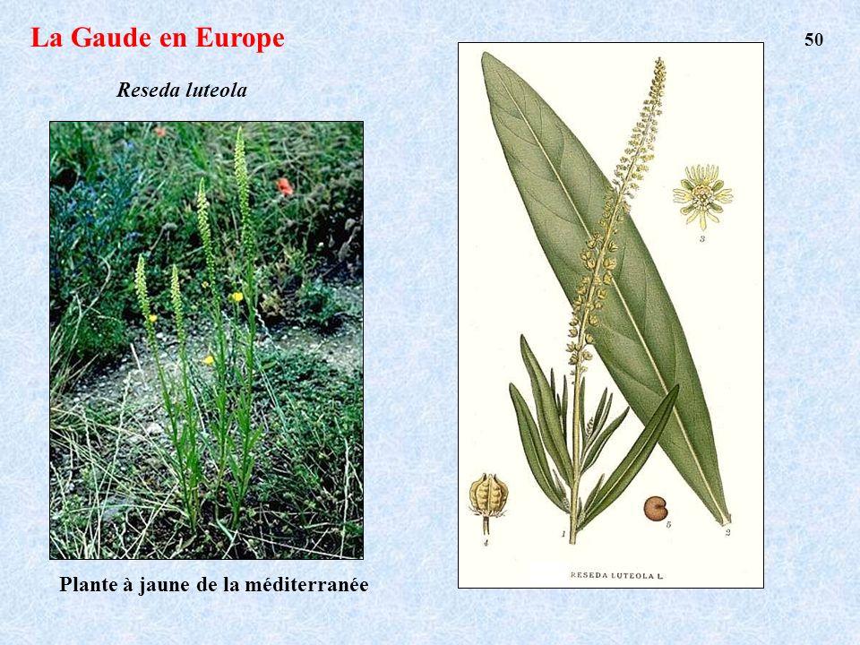 La Gaude en Europe Reseda luteola 50 Plante à jaune de la méditerranée