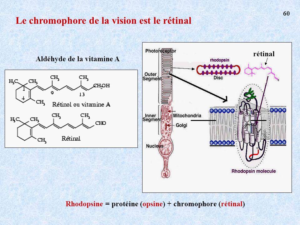 Rhodopsine = protéine (opsine) + chromophore (rétinal) rétinal Aldéhyde de la vitamine A Le chromophore de la vision est le rétinal 60