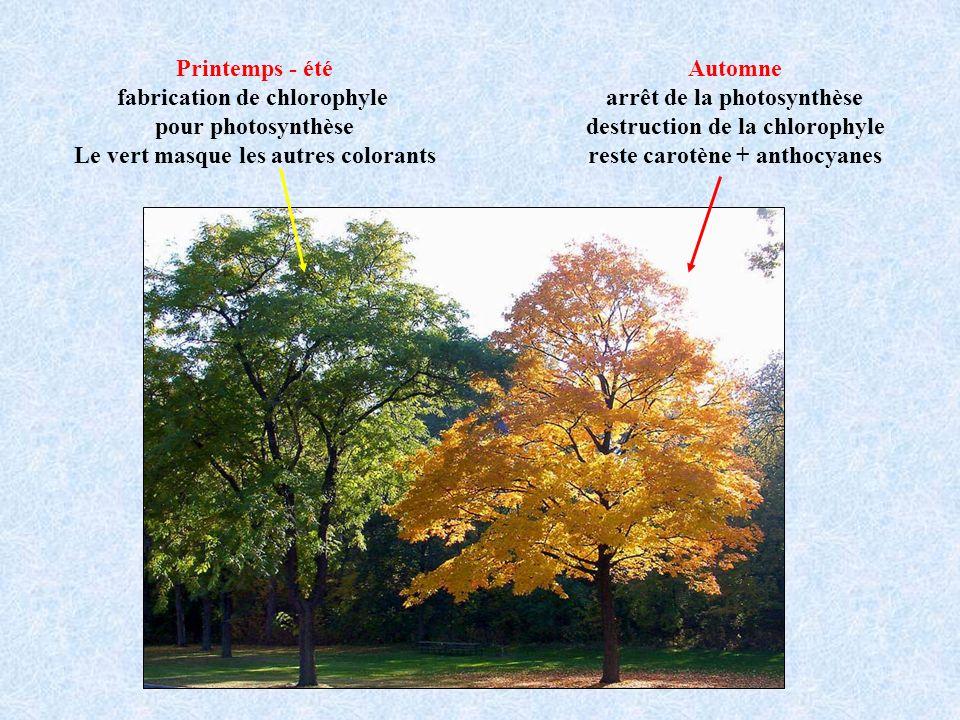 Printemps - été fabrication de chlorophyle pour photosynthèse Le vert masque les autres colorants Automne arrêt de la photosynthèse destruction de la