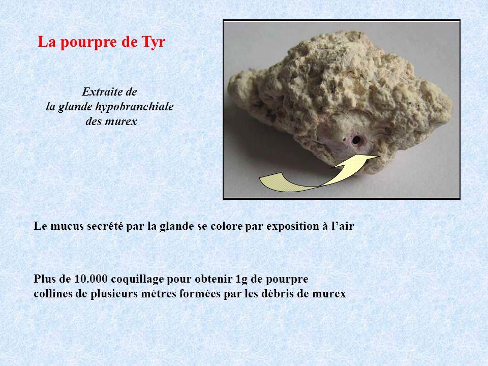 La pourpre de Tyr Extraite de la glande hypobranchiale des murex Le mucus secrété par la glande se colore par exposition à lair Plus de 10.000 coquill