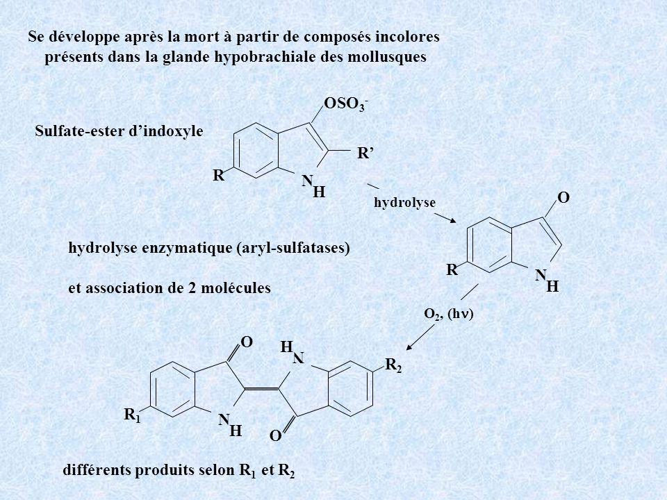 Se développe après la mort à partir de composés incolores présents dans la glande hypobrachiale des mollusques Sulfate-ester dindoxyle hydrolyse enzym