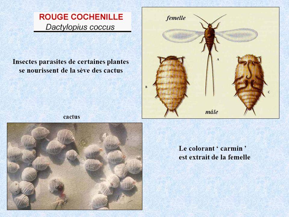 Insectes parasites de certaines plantes se nourissent de la sève des cactus cactus mâle femelle Le colorant carmin est extrait de la femelle