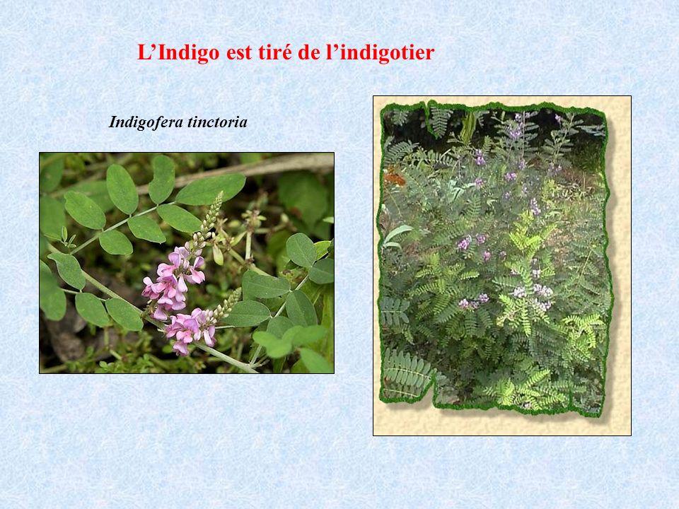 LIndigo est tiré de lindigotier Indigofera tinctoria