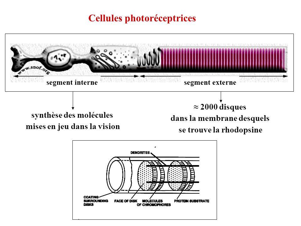 2000 disques dans la membrane desquels se trouve la rhodopsine synthèse des molécules mises en jeu dans la vision segment internesegment externe Cellu
