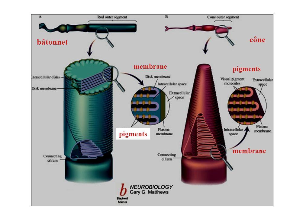 pigments membrane bâtonnet cône