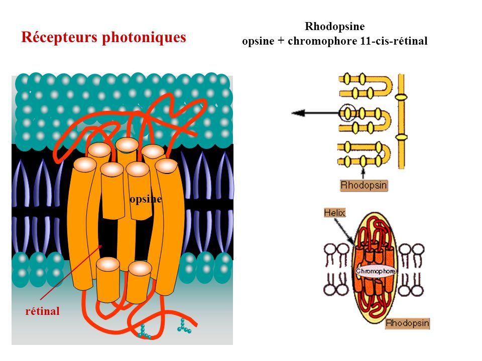 Récepteurs photoniques Rhodopsine opsine + chromophore 11-cis-rétinal rétinal opsine