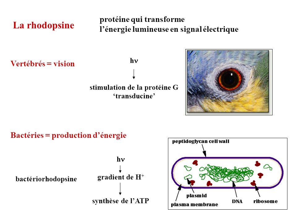 La rhodopsine protéine qui transforme lénergie lumineuse en signal électrique Bactéries = production dénergie bactériorhodopsine Vertébrés = vision h