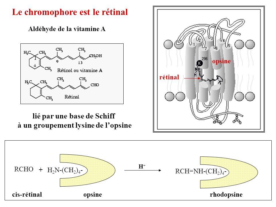 Le chromophore est le rétinal Aldéhyde de la vitamine A lié par une base de Schiff à un groupement lysine de lopsine opsine rétinal RCHO H 2 N-(CH 2 )