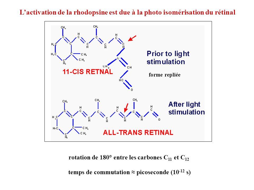Lactivation de la rhodopsine est due à la photo isomérisation du rétinal rotation de 180° entre les carbones C 11 et C 12 forme repliée temps de commu
