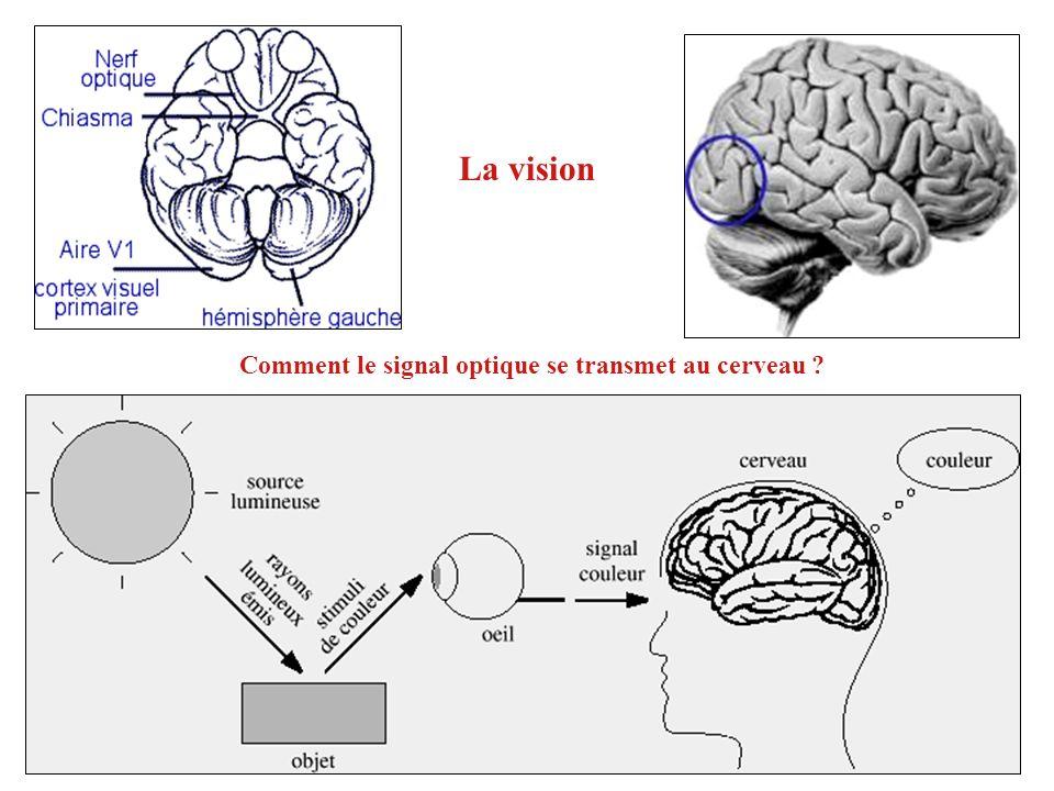 La vision Comment le signal optique se transmet au cerveau ?
