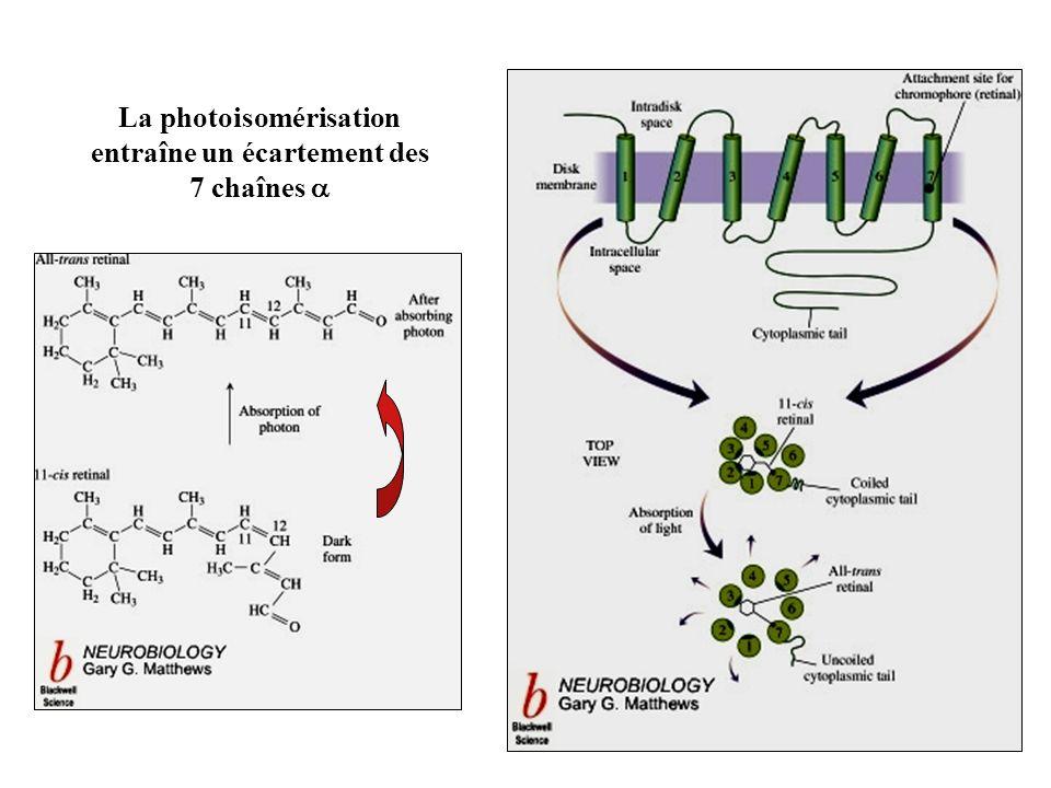 La photoisomérisation entraîne un écartement des 7 chaînes