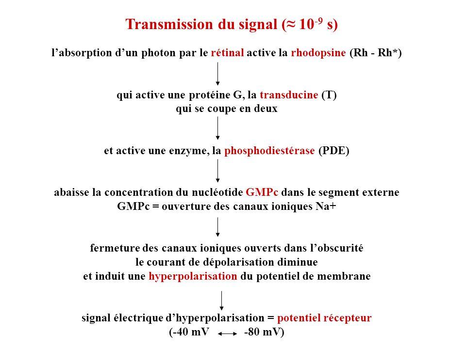 Transmission du signal ( 10 -9 s) labsorption dun photon par le rétinal active la rhodopsine (Rh - Rh*) qui active une protéine G, la transducine (T)