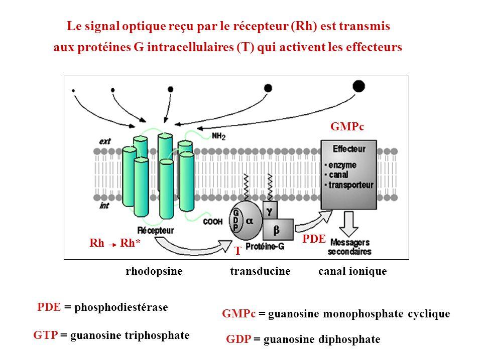 transducinerhodopsine Rh Rh* T PDE GMPc canal ionique PDE = phosphodiestérase GTP = guanosine triphosphate GMPc = guanosine monophosphate cyclique GDP