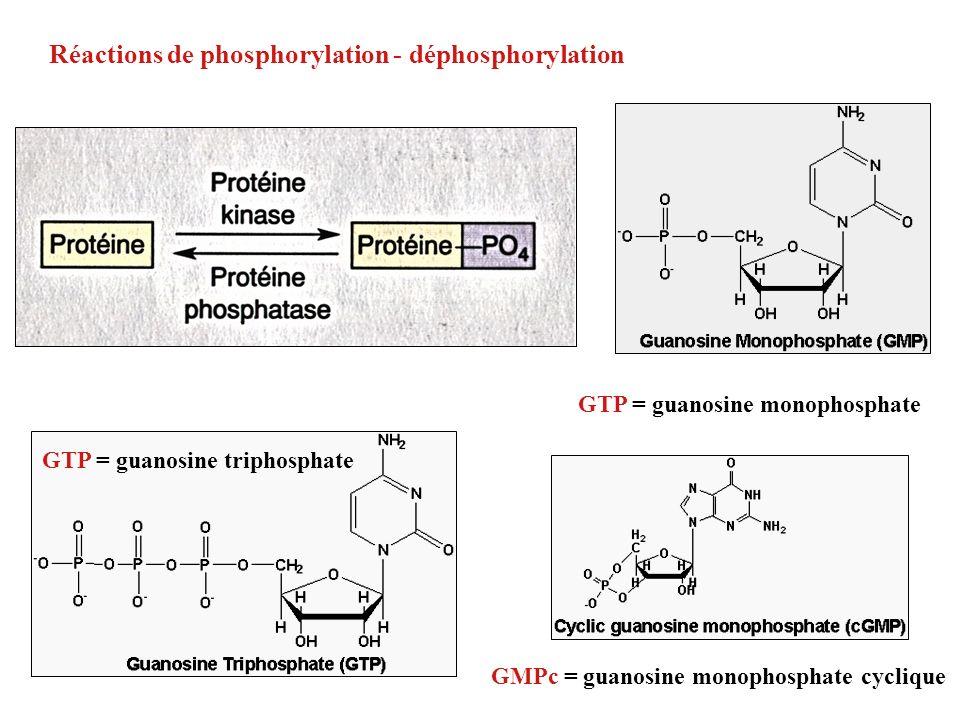 GMPc = guanosine monophosphate cyclique Réactions de phosphorylation - déphosphorylation GTP = guanosine triphosphate GTP = guanosine monophosphate