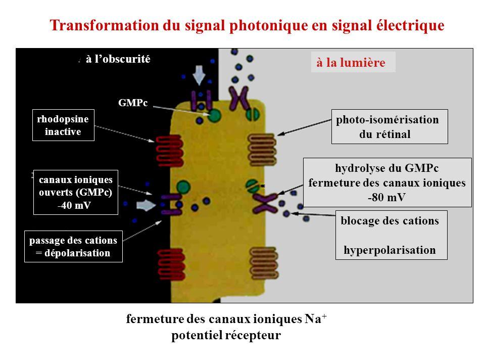 rhodopsine inactive canaux ioniques ouverts (GMPc) -40 mV passage des cations = dépolarisation GMPc photo-isomérisation du rétinal hydrolyse du GMPc f