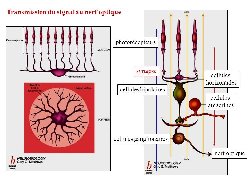 Transmission du signal au nerf optique nerf optique cellules ganglionaires cellules bipolaires synapse photorécepteurs cellules horizontales cellules