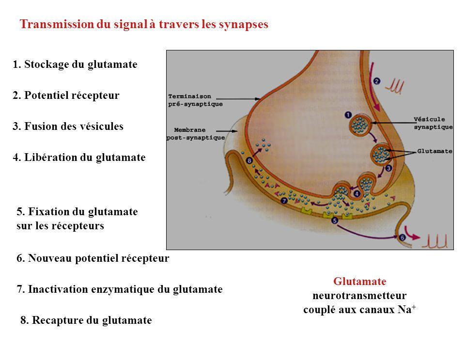 1. Stockage du glutamate 2. Potentiel récepteur 3. Fusion des vésicules 4. Libération du glutamate 5. Fixation du glutamate sur les récepteurs 6. Nouv