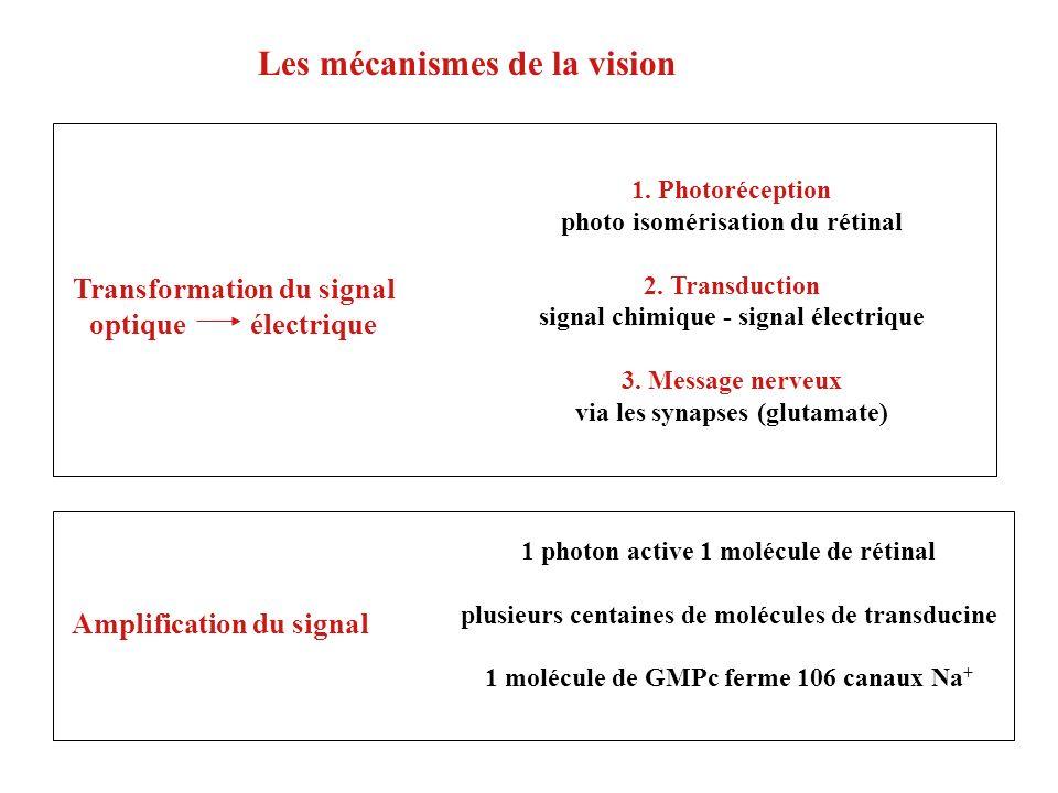 1. Photoréception photo isomérisation du rétinal 2. Transduction signal chimique - signal électrique 3. Message nerveux via les synapses (glutamate) 1