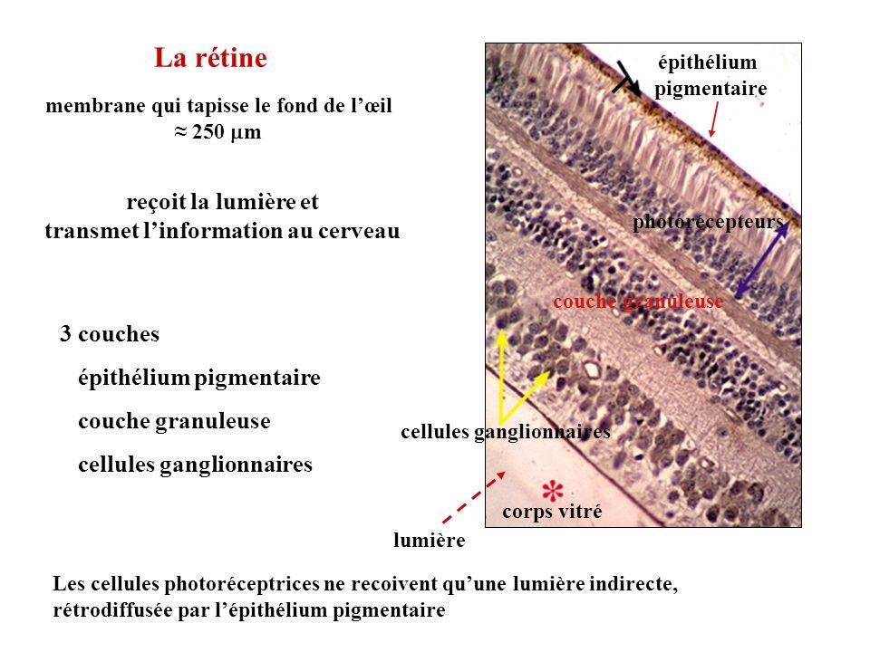 La rétine membrane qui tapisse le fond de lœil 250 m reçoit la lumière et transmet linformation au cerveau épithélium pigmentaire photorécepteurs cell