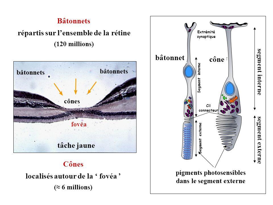 Segment externe BATONNET Extrémité synaptique CONE Cil connecteur Segment interne pigments photosensibles dans le segment externe bâtonnet cône segmen