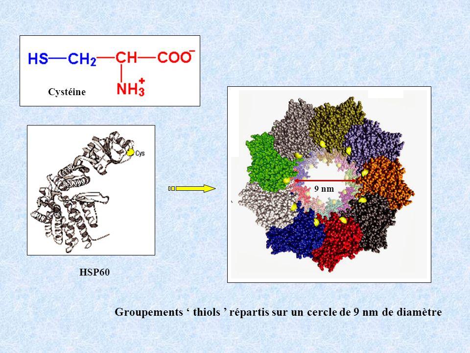 HSP60 Cystéine Groupements thiols répartis sur un cercle de 9 nm de diamètre 9 nm